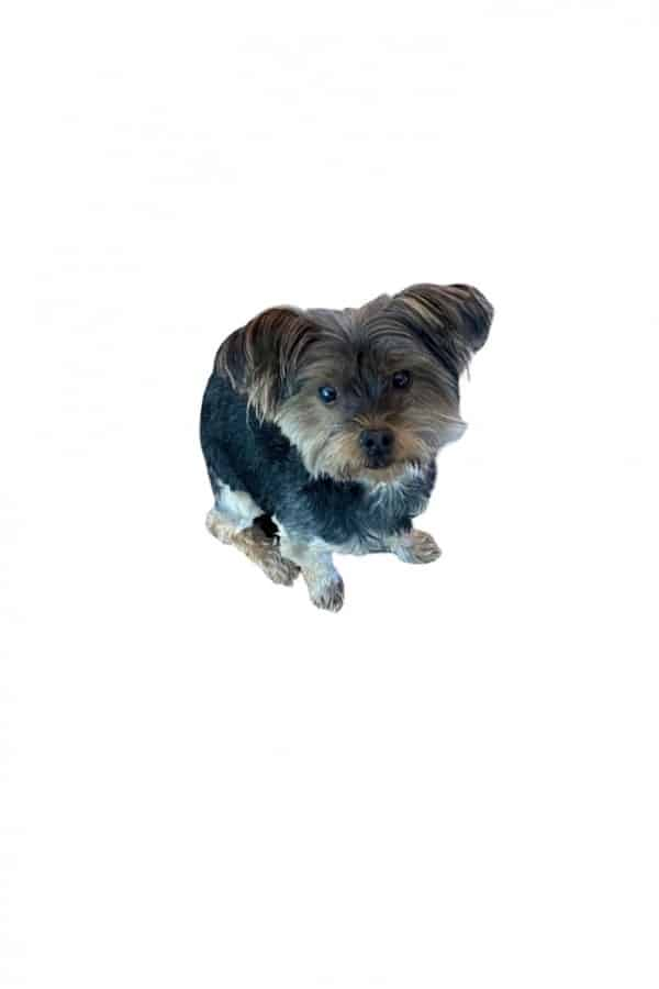 image of our yorkie pup Snickers